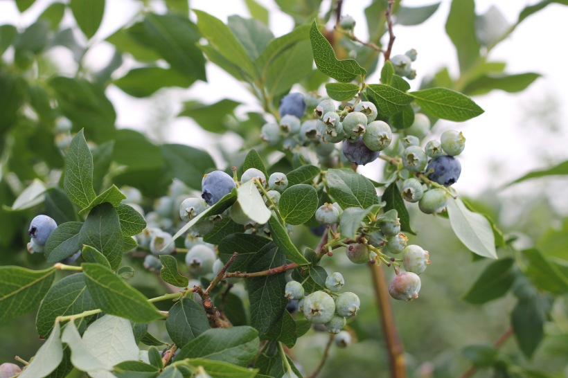 blueberry pick you own - terhune orchards